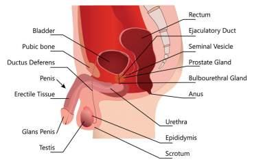 Die männliche Genitalzone ist differenziert. Erektionsprobleme hängen auch von körperlichen Faktoren ab.